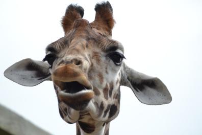 giraffes at Marwell zoo