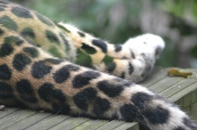 Leopard at Marwell zoo