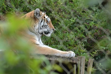 Tiger at Marwell zoo