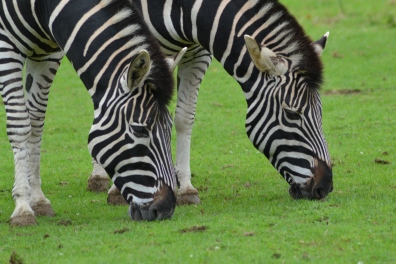 zebras at Marwell zoo
