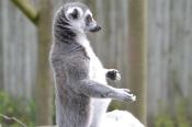 Lemurs at Marwell zoo