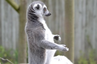 Lemurs at Marwell zoo