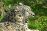 Snow leopard at Marwell zoo