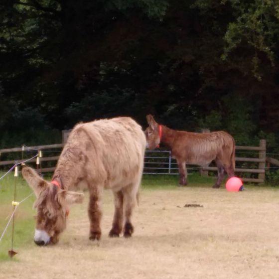 shaggy donkey