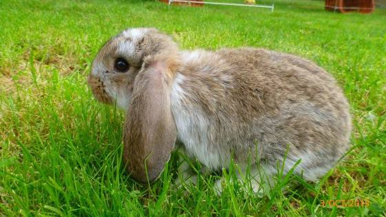 French lop - girl