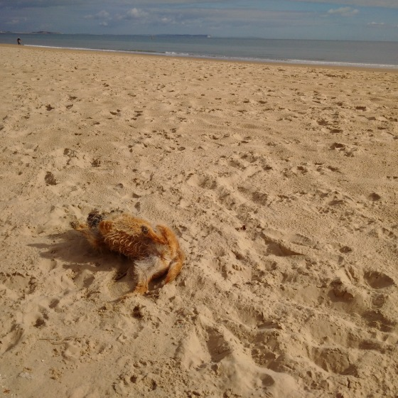Kipster rolling in the sand