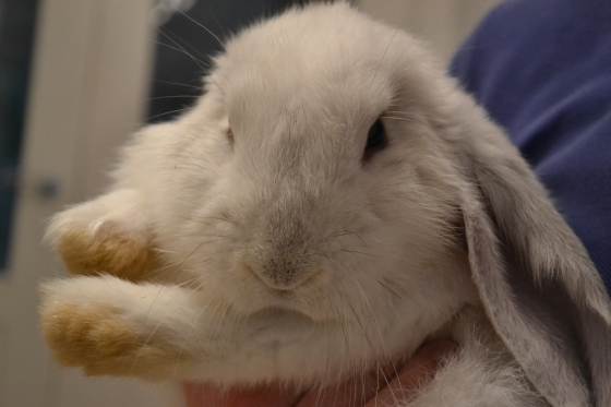 Pierre the french lop